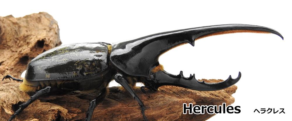 Herchles ヘラクレス