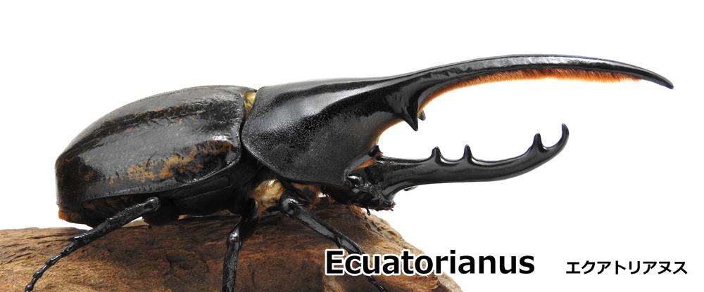 Ecuatorianus エクアトリアヌス